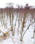 Ольшаник с колонией серых цапель у села Сселки