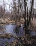 Ольшаник с колонией серых цапель у села Карамышево
