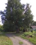 Петровский дуб