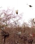 Ольшаник с колонией серых цапель у села Излегоще