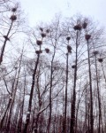 Ольшаник с колонией серых цапель у села Троицкое